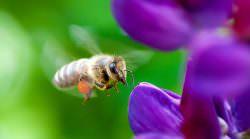Mit Honigbienen die Natur schützen?