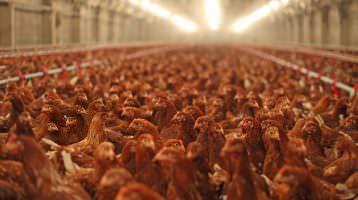 Top-Caterer für mehr Tierschutz in der Hühnermast