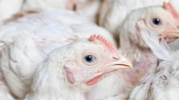 Bünting hebt Standards für Masthühner