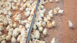 Nestlé erfüllt europäische Masthuhn-Forderung