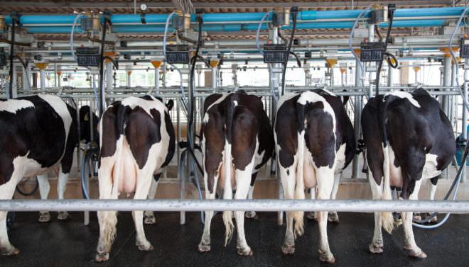 Tierschutzbund-Label für Milch –Kühe an Melkmaschine