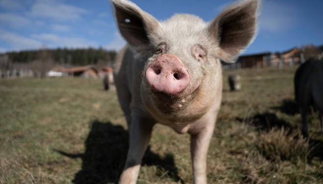Schwein auf Weide